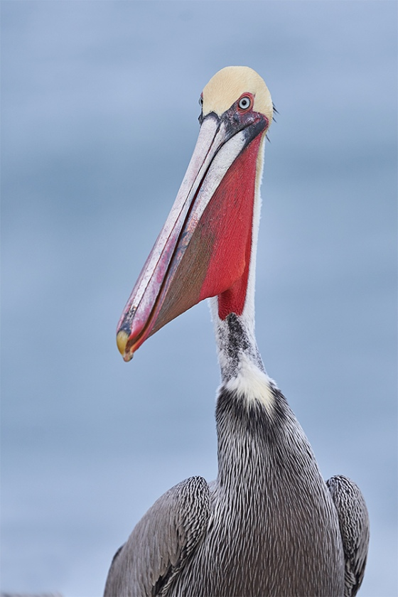 Brown-Pelican-with-bill-pouch-distended-_7R48232-La-Jolla-CA-1