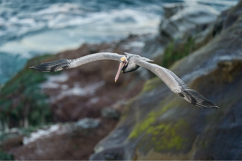 Brown-Pelican-with-low-cliff-background-_A923898-La-Jolla-CA-1