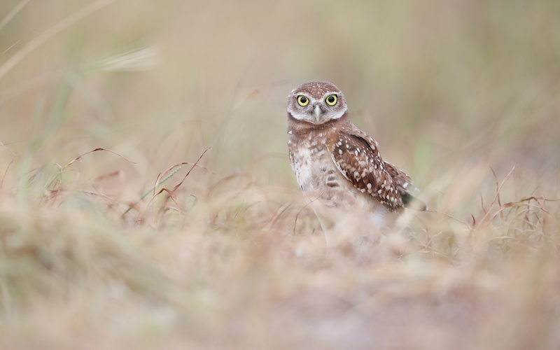 Burrowing-owl-chick-in-the-grasses_A3I0354-Boca-Raton-Airport,-FL,-USA