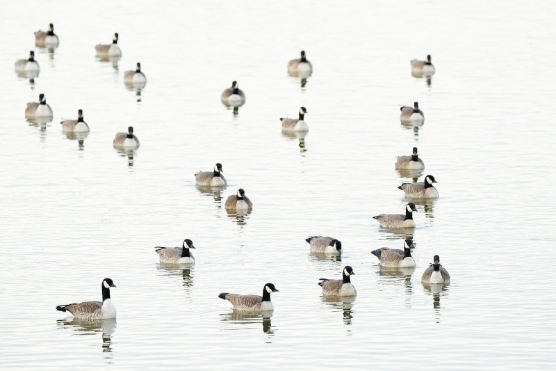 Cackling-Goose-flock-_A928868-Lakewood-CO-1