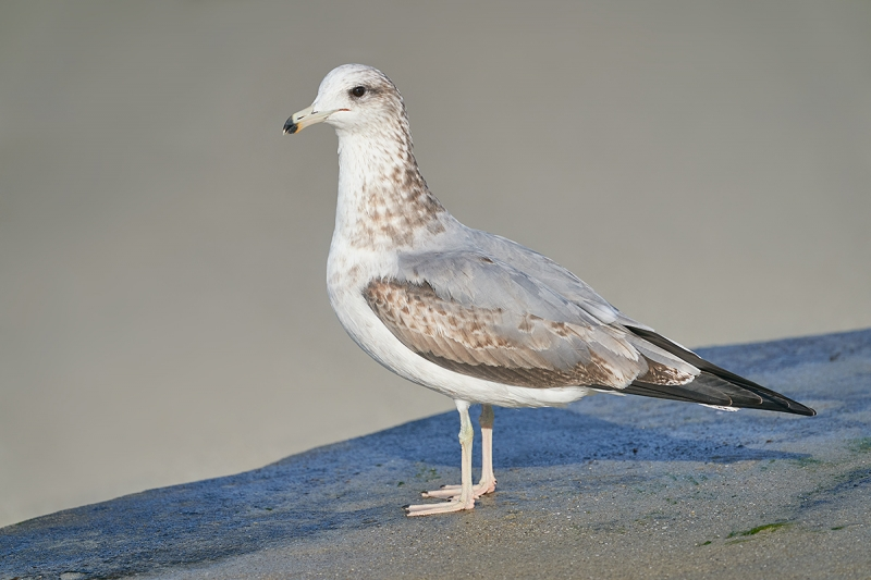 California-Gull-in-first-winter-plumage-_DSC8498--San-Diego,-CA-1