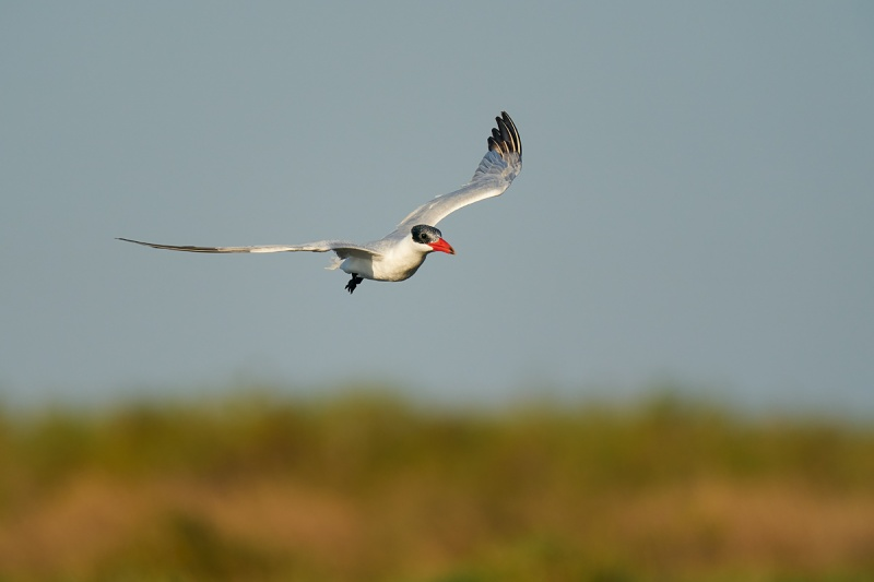 Caspian-Tern-rocking-flight-_A9B0615-Taylor-oilfields-High-Island-TX-1