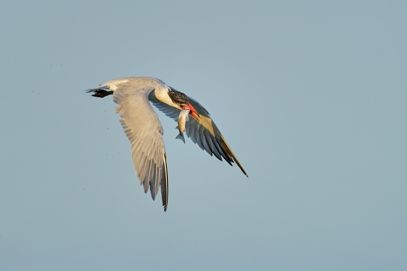 Caspian-Tern-with-finger-mulet-giga-PIX-_A926227-South-Padre-Island-TX-1-gigapixel-scale-2_00x
