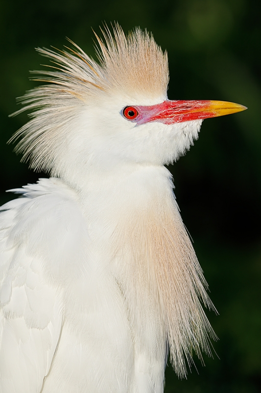 Cattle-Egret-breeding-plumage-cleaned-up-_W5A1023-Gatorland,-Kissimmee,-FL