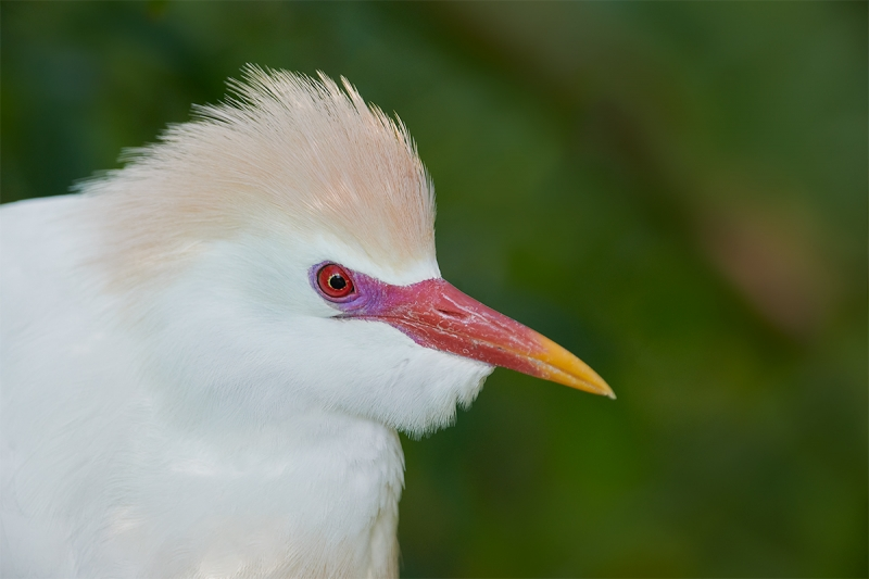Cattle-Egret-breeding-plumage-head-portrait-_BUP6559--Gatorland-Kissimmee-FL-2