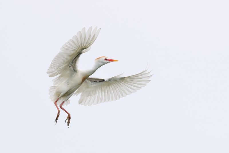 Cattle-Egret-coming-in-for-landing-_A0I1634-Gatorland,-Kissimmee,-FL