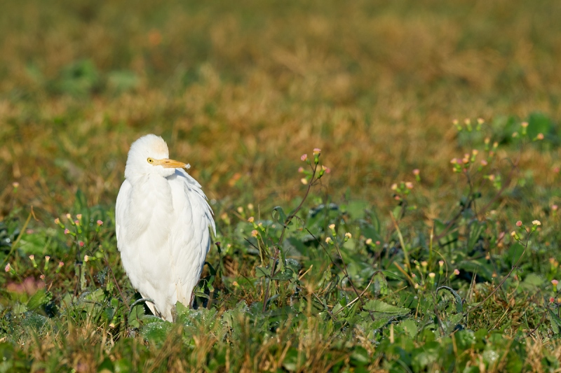Cattle-Egret-tasselflowers-_A9B5960-Indian-Lake-Estates-FL-1