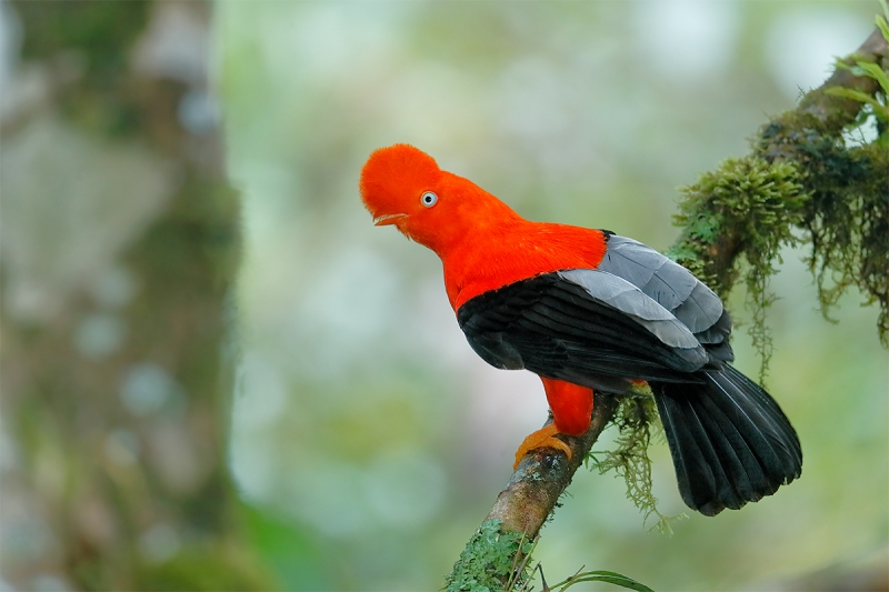 Cock-of-the-Rock-male-and-tree-_A0I8290-REDO-Manu-National-Park,-Peru