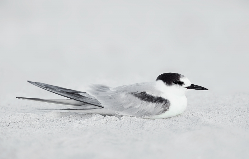 Common-Tern-winter-plumage-_W5A7594-Fort-DeSoto-Park,-FL