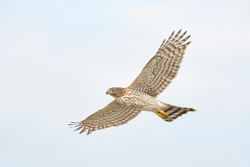 Coopers-Hawk-juvenile-_A923171Smith-Point-TX-1