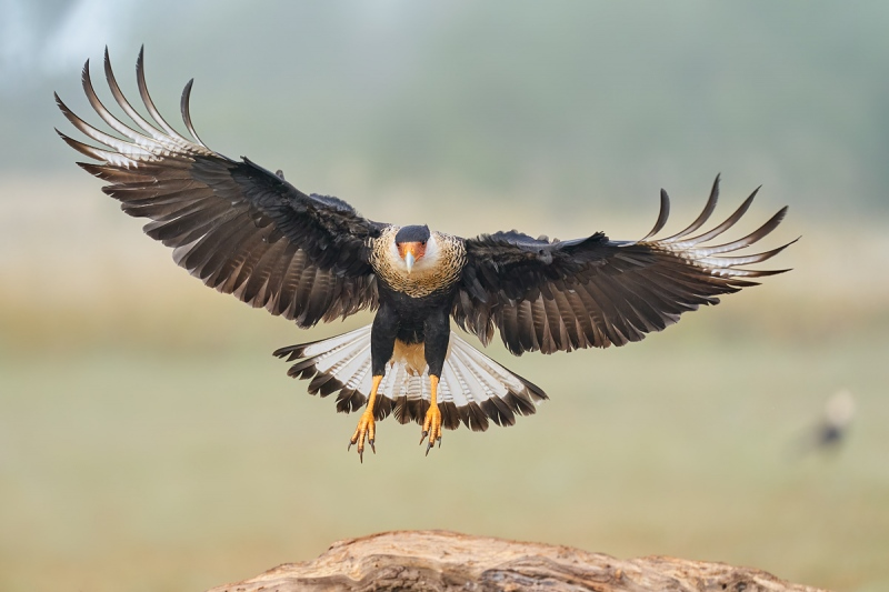 Crested-Caracara-flaring-to-land-_A9B3881-Laguna-Seca-Ranch-Hidalgo-County-TX-1