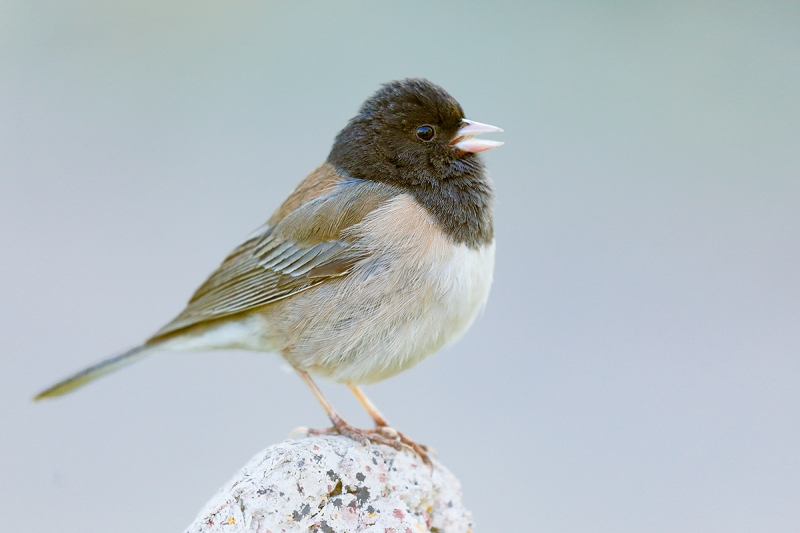 Dark0eyed-Junco-singing