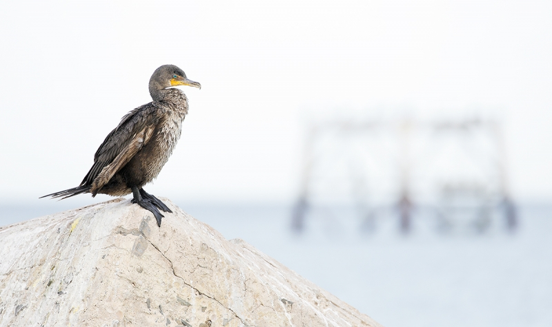 Double-crested-Cormorant-and-derelict-tower-_P3A3738-Fort-DeSoto-Park,-FL