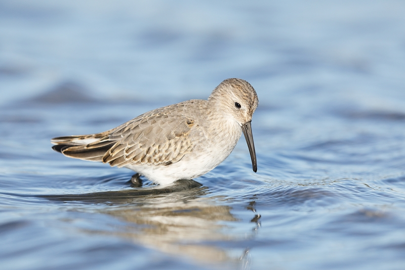 Dunlin-first-winter-B-_W5A6960--East-Pond,-JBWR,-Queens,-NY