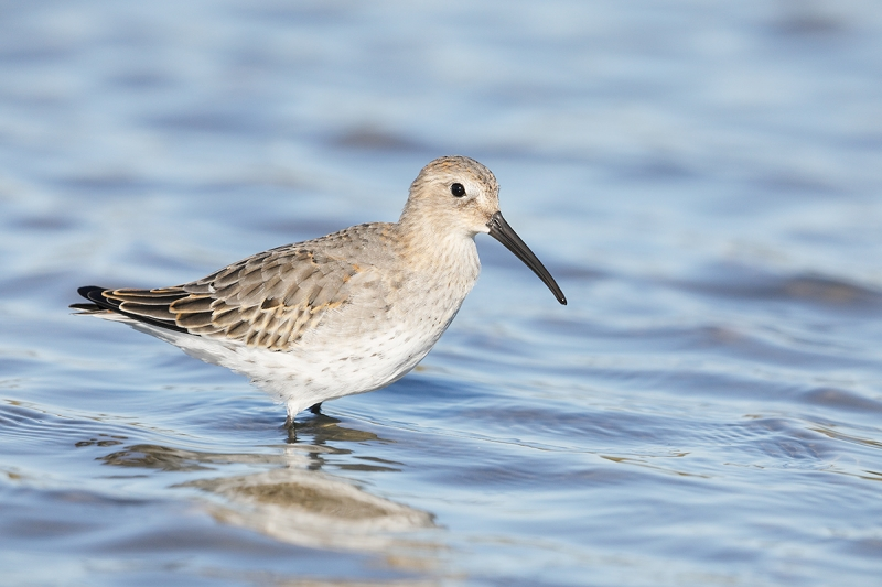 Dunlin-first-winter-_W5A6901--East-Pond,-JBWR,-Queens,-NY