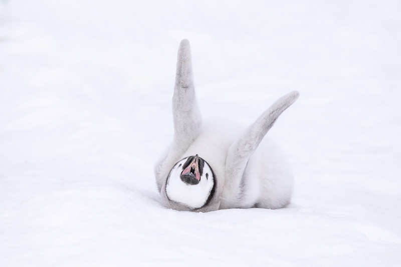 Emperor-Penguin-chick-stretching-_MAI1648--Snow-Hill-Island,-Antarctica