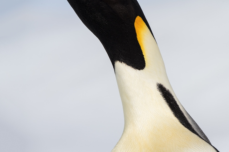 Emperor-Penguin-stretched-neck-abstract-_BUP6835-Snow-Hill-Island-Antarctica