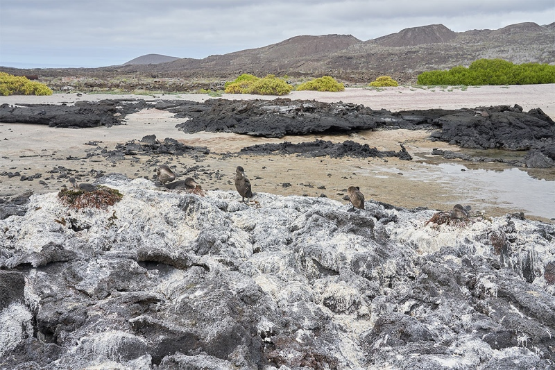 Flightless-Cormorant-nests-on-lava-rock-A-_DSC5100-1