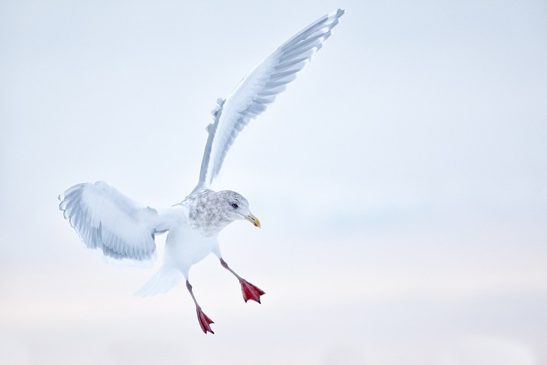Glaucous-winged-Gull-landing-on-snow-bank-_W3C3319-Homer-AK