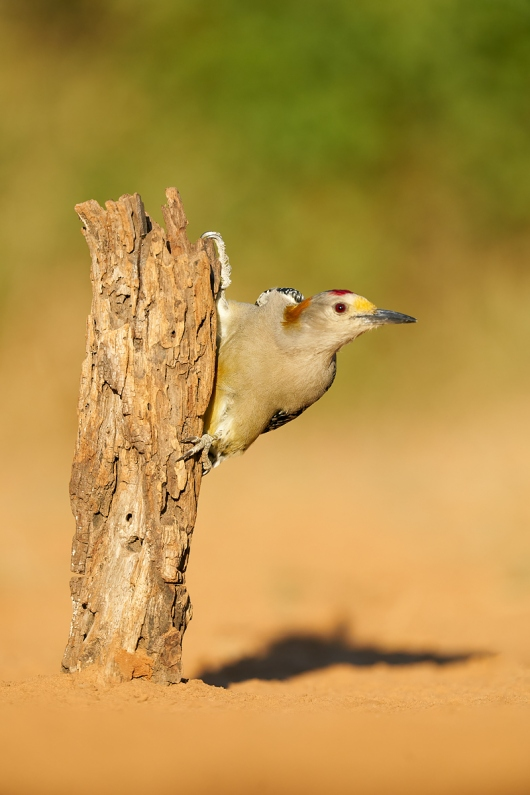 Golden-fronted-Woodpecker-on-post-_A924687-Santa-Clara-Ranch-Starr-County-TX-1