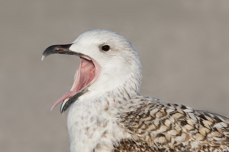 Great-Black-backed-Gull-1st-winter-calling-_W5A0481--Long-Island,-NY