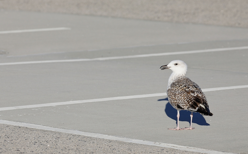 Great-Black-backed-Gull-1st-winter-in-parking-field