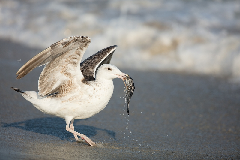 Great-Black-backed-Gull----juvenile-w-skimmer-wing--_T0A3214-Nickerson-Beach,-LI,-NY