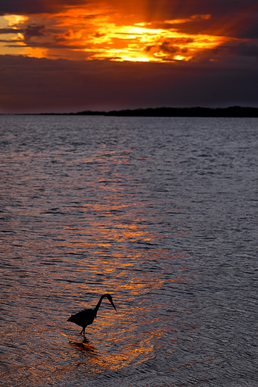 Great-Blue-Heron-at-sunset-_P3A3171-Fort-DeSoto-Park,-Pinellas-County,-FL