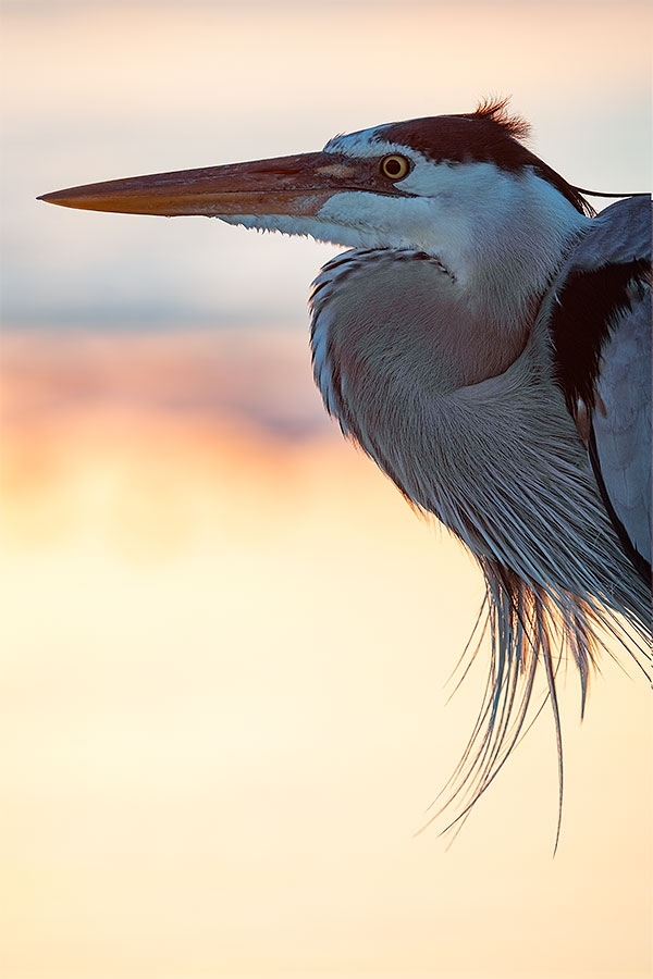 Great-Blue-Heron-backlit-at-sunrise-_MAI6742-Fort-DeSoto-Park,--Tierra-Verde,-FL