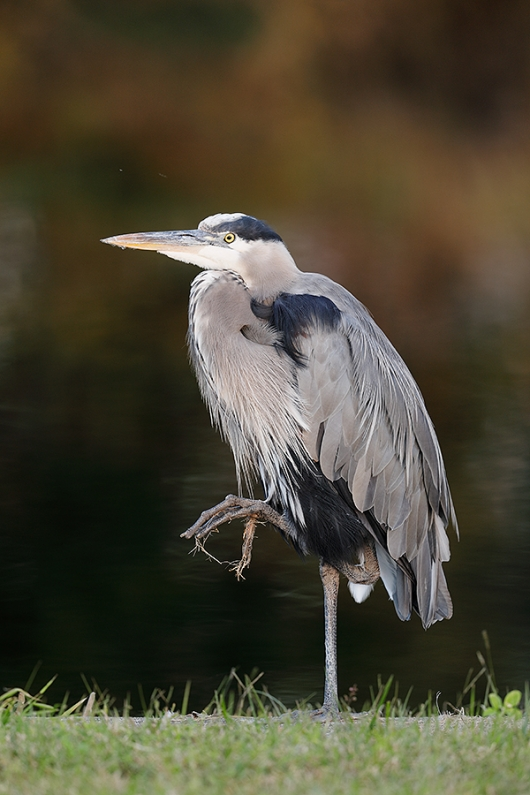 Great-Blue-Heron-by-canal-_W5A0506--Indian-Lake-Estates,-FL