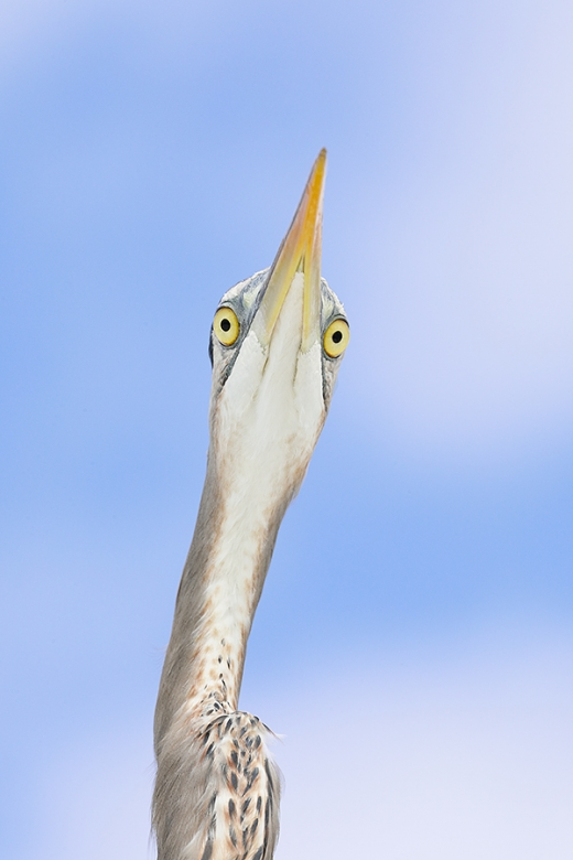 Great-Blue-Heron-from-below-_P3A2367--Fort-DeSoto-Park,-FL