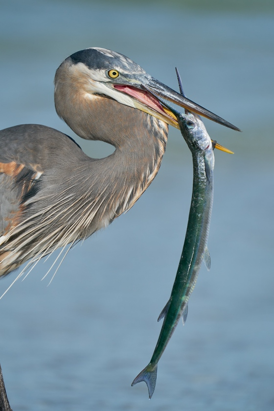 Great-Blue-Heron-with-Needlefish-_A920175-Fort-deSoto-Park-FL-1