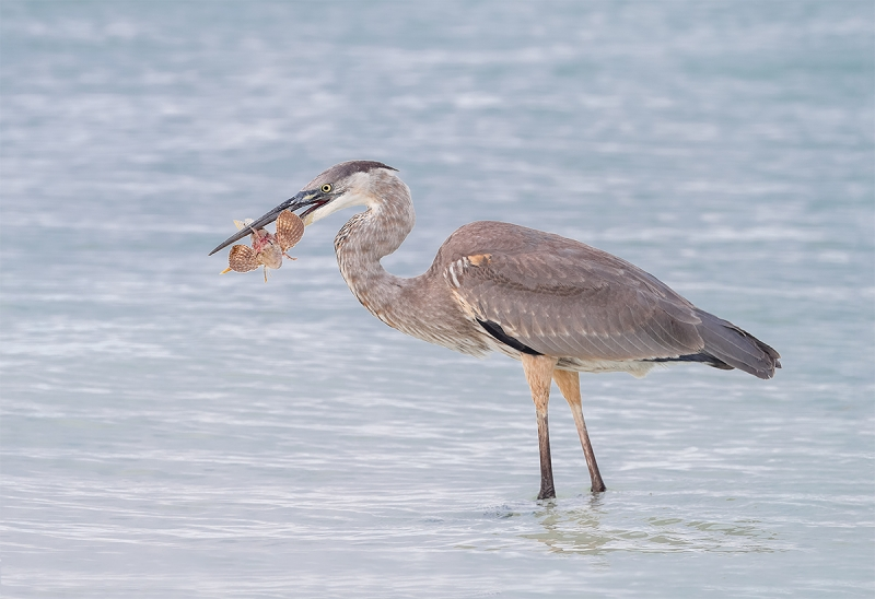 Great-Blue-Heron-with-sea-robin-AD3I1459Fort-deSoto
