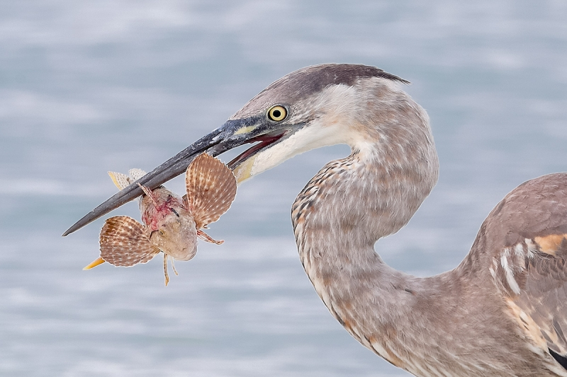 Great-Blue-Heron-with-sea-robin-CROP-AD3I1459Fort-deSoto