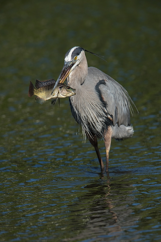 Great-Blue-heron-with-fish-_DSC8770-Gatorland,-Kissimmee,-FL