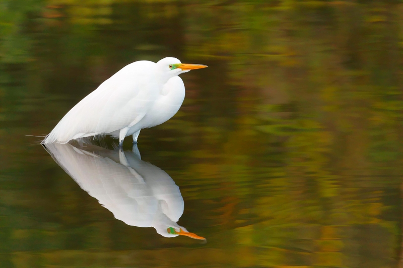 Great-Egret-Buzz-Sim-II-in-gorgeous-green-water-_A0I0222-Gatorland,-Kissimmee,-FL,--