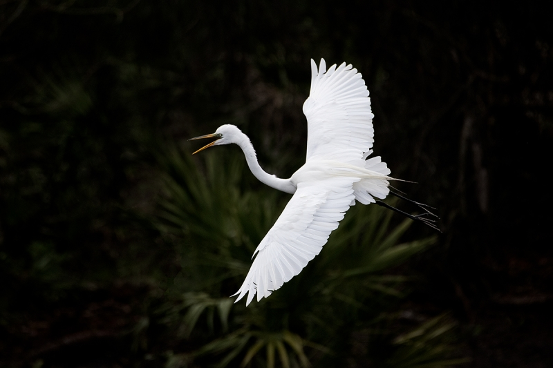 Great-Egret-in-flight-approaching-nest-_DSC0770--Gatorland,-Kissimmee,-FL