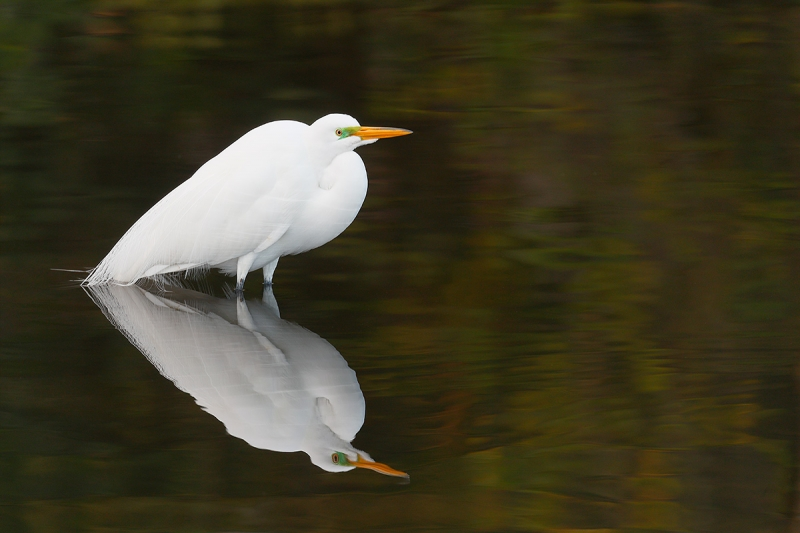 Great-Egret-in-gorgeous-green-water-_A0I0222-Gatorland,-Kissimmee,-FL,--