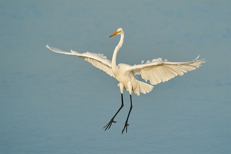Great-Egret-landing-butter-light-_A9B7776-Fort-DeSoto-Park-FL-1