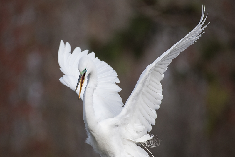 Great-Egret-landing-tight-_DSC0838--Gatorland,-Kissimmee,-FL