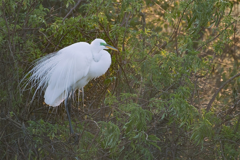 Great-Egret-on-nest-backlit-_DSF3669-Gatorland,-Kissimmee,-FL