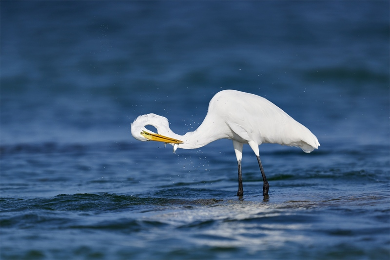 Great-Egret-shaking-head-_DSC1081-Fort-DeSoto-Park-Pinellas-County-FL-1