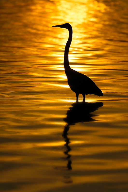 Great-Egret-sunset-SILH-A-_P3A3479-Fort-DeSoto-Park,-FL