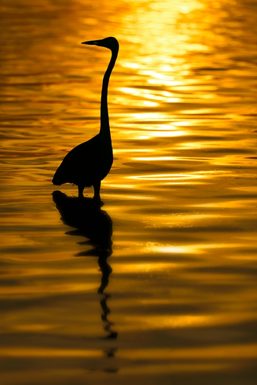 Great-Egret-sunset-SILH-B-_P3A3471-Fort-DeSoto-Park,-FL