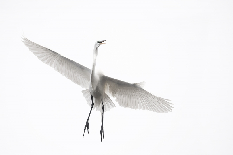Great-Egret-turning-left-in-flight-_DSC0411--Gatorland,-Kissimmee,-FL