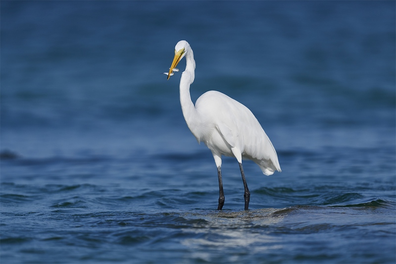 Great-Egret-with-two-small-greenbacks-_DSC1095-Fort-DeSoto-Park-Pinellas-County-FL-1