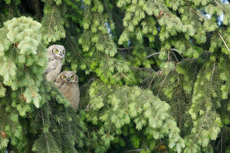 Great-Horned-Owl-fledged-nest-mates_P3A0608-Palouse,-WA