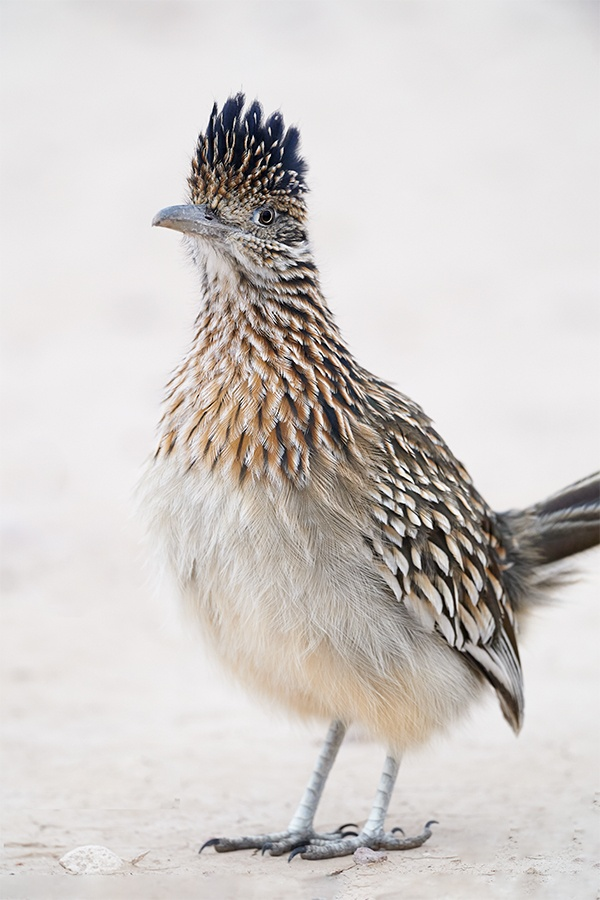 Greater-Roadrunner-vertical-front-end-_A924189-Bosque-del-Apache-NWR-San-Antonio-NM-1