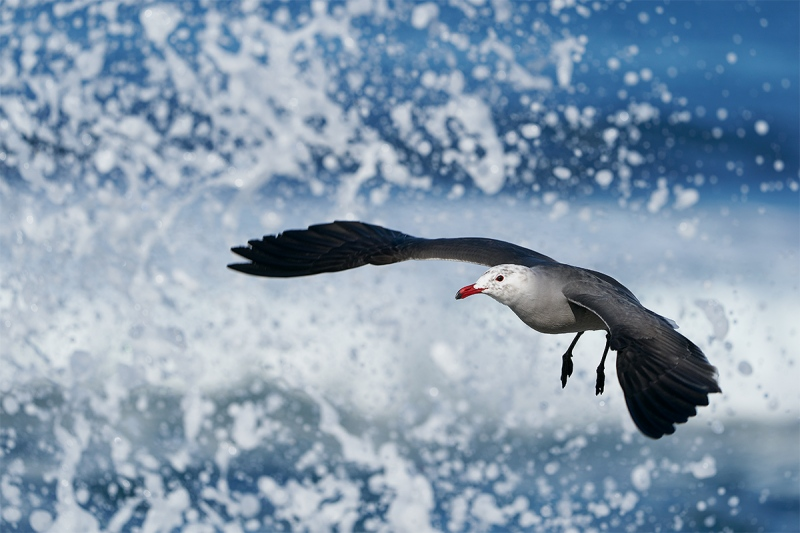 Heermans-Gull-jumping-up-in-front-of-breqaking-wave_A929008-La-Jolla-CA-1