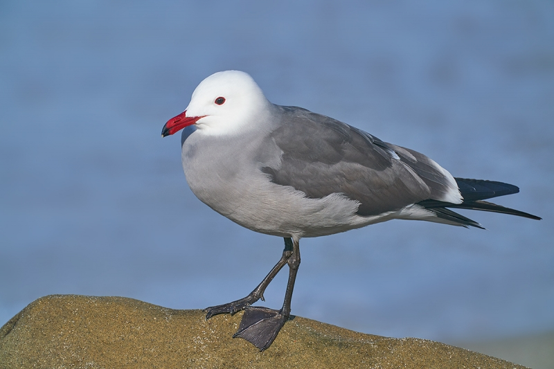 Heerman's-Gull-on-rock-_DSC8547--San-Diego,-CA-1